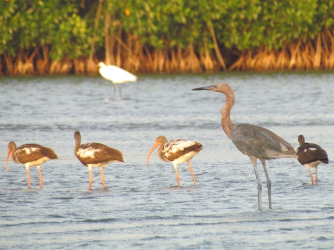 Cartagena_BirdMangrovers